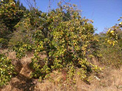 aisan-pears